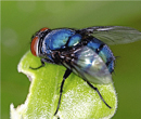 Blue Bottle Fly Pollinators