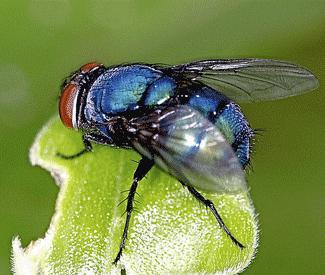 Blue Bottle Pollinators